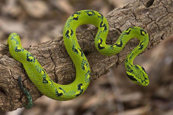 Los 5 tipos de serpientes venenosas de México – Especial