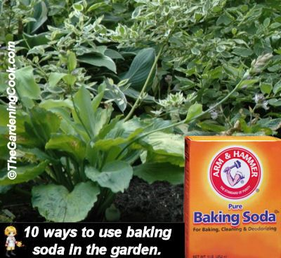 From the Gardening Cook-10 Ways to Use Baking Soda in the Garden -who knows baking soda is a great garden aid?  Here are a few tips: *Use it as a natural fungicide *As garden grime buster *Use it for powdery mildew *Rejuvenate your rose bushes *Use it as weed killer/preventer *Kill cabbage worms *Sweeten your tomatoes *Kill crabgrass *Test your soil PH *Discourage pests in the garden