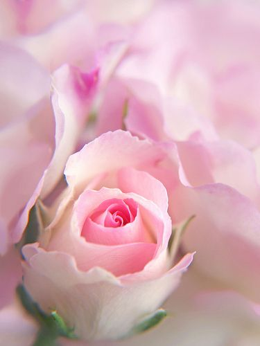 rosesBeautiful Flower, Pink Roses, White Rose, Soft Colors, Soft Pink, Pale Pink, Baby Breath, Flower Gardens, Beautiful Rose