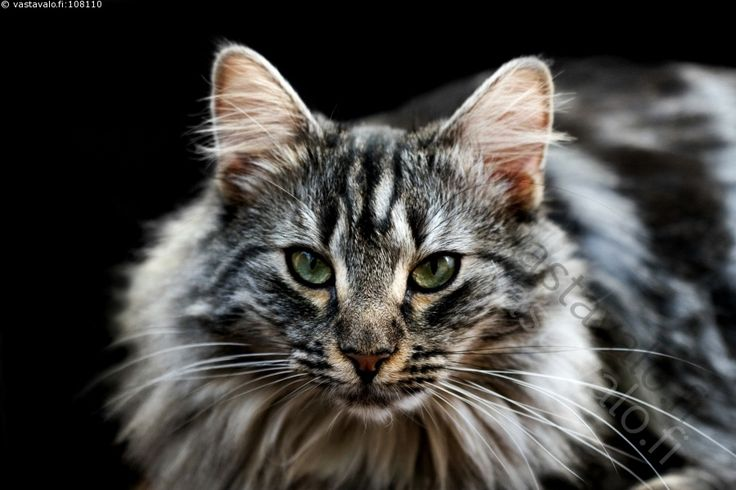 Norjalainen metsäkissa - norjalainen metsäkissa kissa lemmikki kotieläin raidallinen hopeatabby vihreät silmät tuima ilme naaras rotukissa