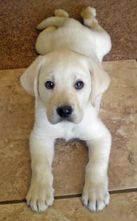 Cute Pup. Another beautiful frog-dog Lab! :-)