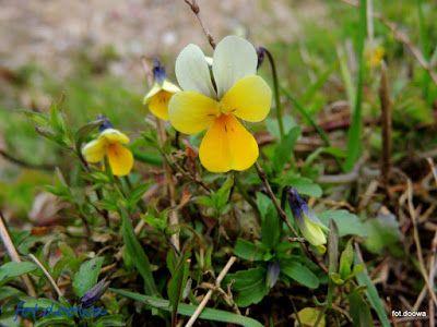 Moje Małe Czarowanie: Fiołek trójbarwny - Viola tricolor