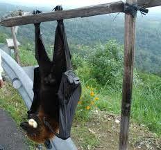 Es el zorro volador filipino gigante, o Acerodon jubatus. Viven en cuevas y zonas arboladas de las selvas de Maitum, provincia de SARANGANI
