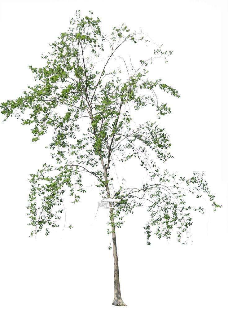 Celtis africana l Common name: White Stinkwood l Spring 2