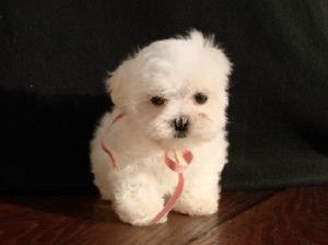 maltipoo puppies for sale in ky