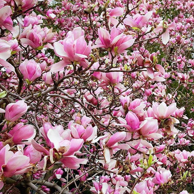Please bear with us as we work through our blossom obsession. #magnolia (Photo: @capturebylucy, #RSblooms)