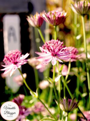 Astrantia major 'Claret' (Sterndolde)