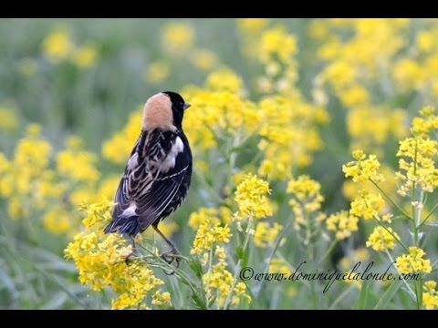 Bobolink ( Dolichonyx oryzivorus). The male Bobolink courts with the basic blackbird stance: head down, neck feathers ruffled, tail fanned, and wings archeddownward, displaying his prominent white shoulder patches.