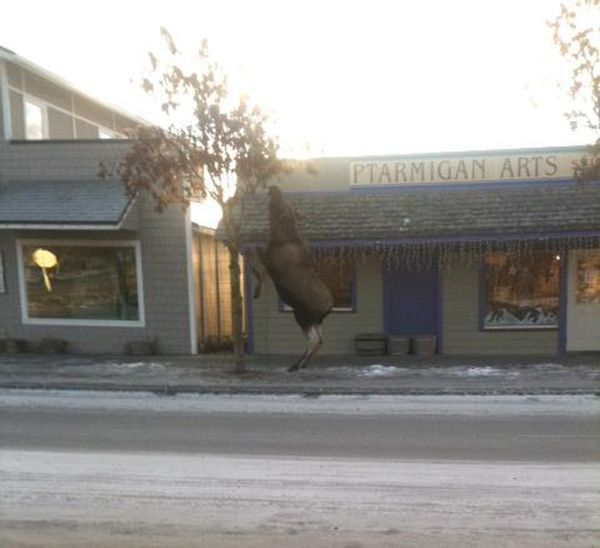 A moose rises on its hind feet to reach food in Homer, in this photo by the Homer News and Dennis Leach.
