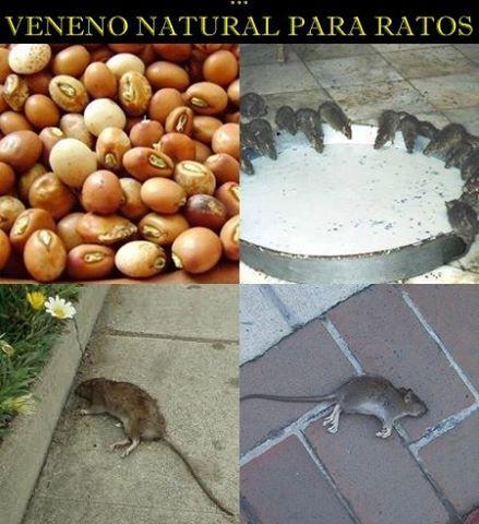 VENENO NATURAL PARA RATOS  Veneno ecológico para matar ratos - UTILIDADE…
