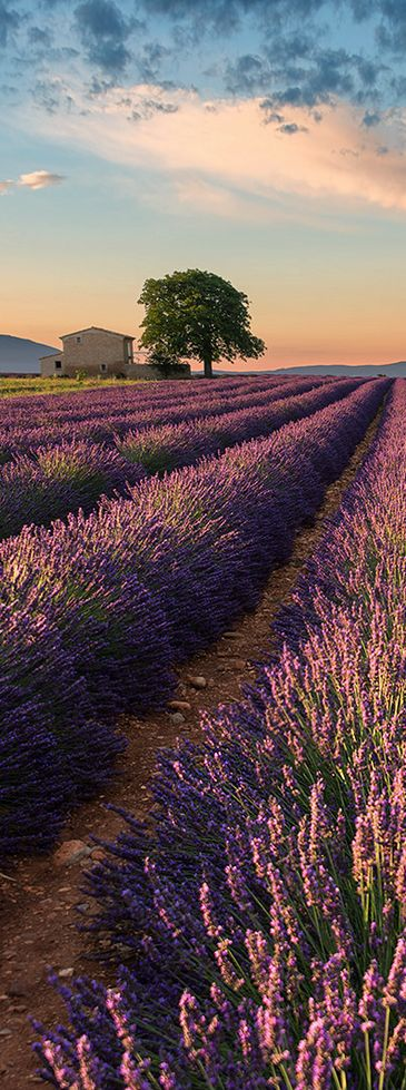Colors of Valensole, Provence, France || it's kinda stupid but the tvd fan in me was thinking wow this is a field of vervain                                                                                                                                                      Mehr