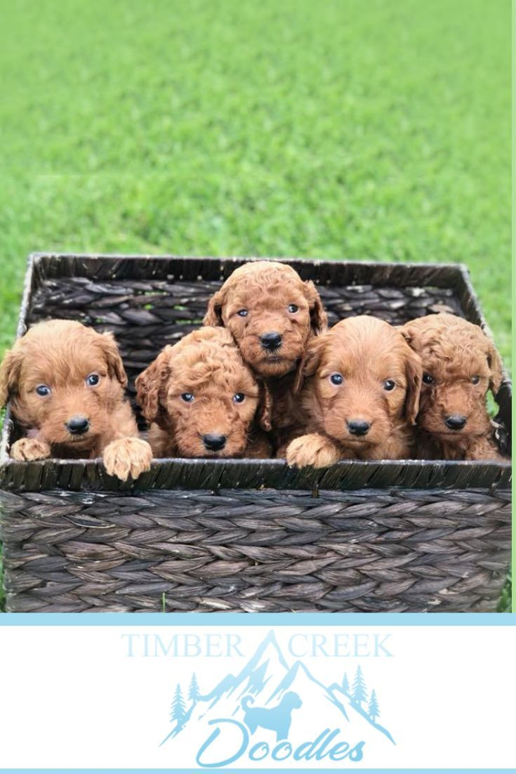 Mini Goldendoodles And Mini Bernedoodles In Utah By Timber Creek Doodles Mini Goldendoodle Puppies Puppies Dog Lovers
