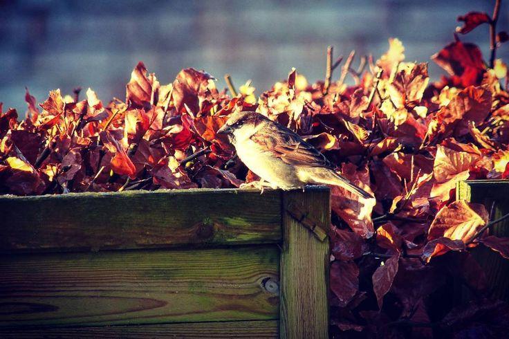 a little sparrow sunbathes bird bird photography bird birdphotography sunbath sunbathing nature nature photography nature naturephotography ha