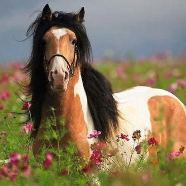 Painted pony: Paso Up, Pretty Hors, Fields Of Flowers, Natural Beautiful, Beautiful Hors, Colors Combinations, Paintings Out, Hors Photos, Gypsy Vanner Hors