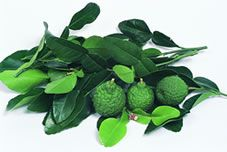 kieffer lime tree. Another miniature citrus good for indoor growing.
