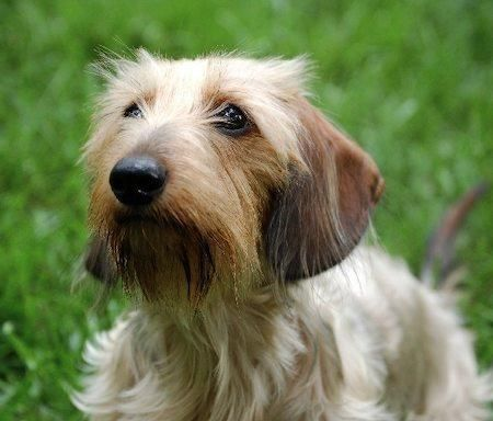 Sadie the Wirehaired Dachshund