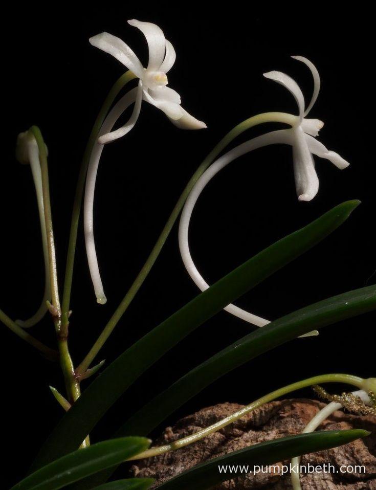 Neofinetia falcata, flowering inside my White Orchid Trial Terrrium.