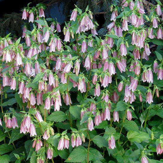 606 besten plant id perennials 1 bilder auf pinterest for Pflanzen evergreen