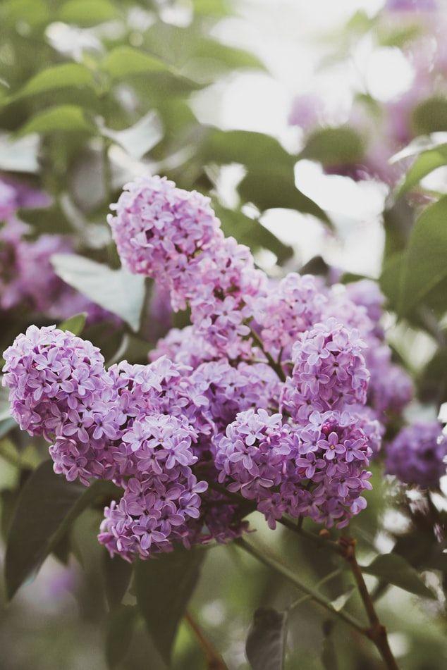 When To Trim Lilac Bushes Lilac Bushes Lilac Tree Prune Lilac Bush