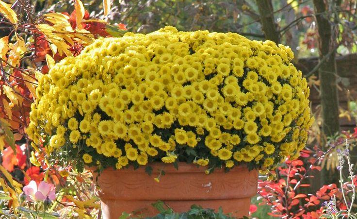 Chrysanthemen sind der Klassiker für diespätherbstliche Terrasse