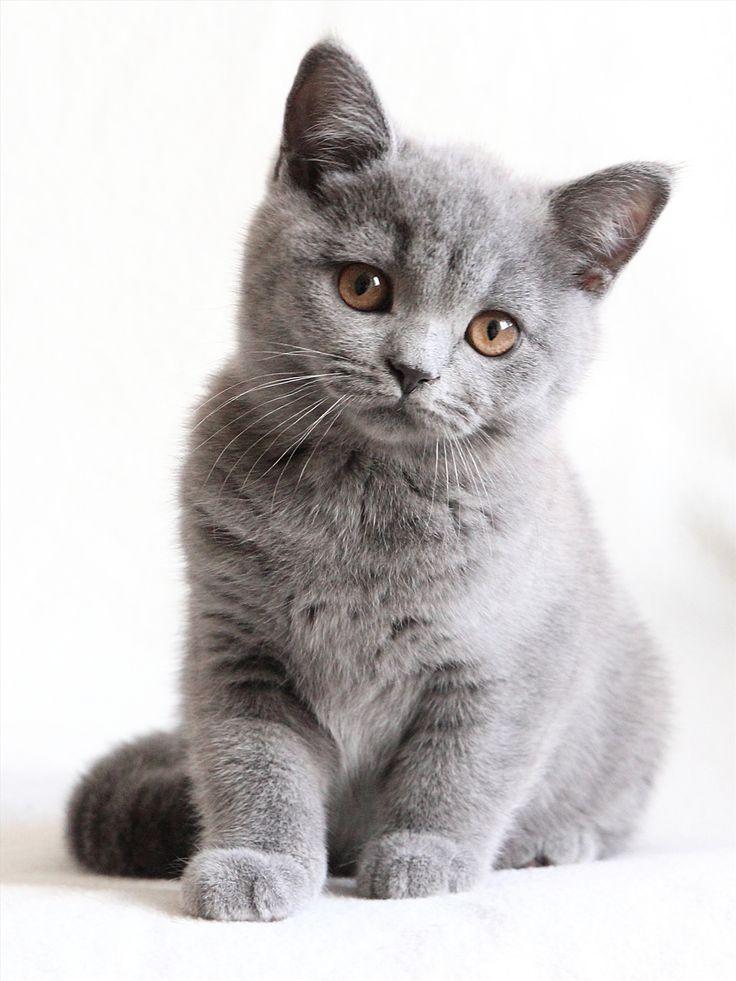 British Shorthair Kittens 11 Pictures British Shorthair