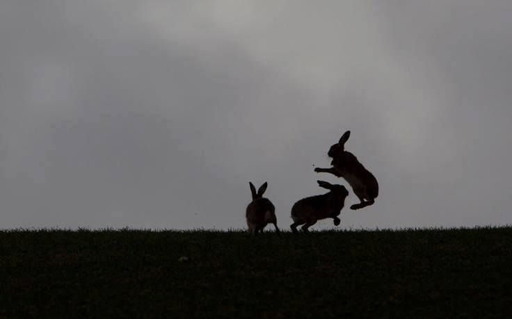 Rabbit, Marching Haring, Animal Pictures, Animal Kingdom, Jumping Bunnies, Brown Haring, Nature Photography, Bunnies Plays, Haring Silhouettes