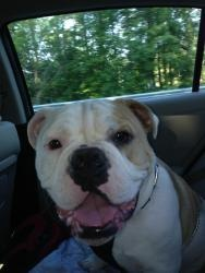 half pitbull half bulldog 1000 images about punky on pinterest puppys pumpkins 7555