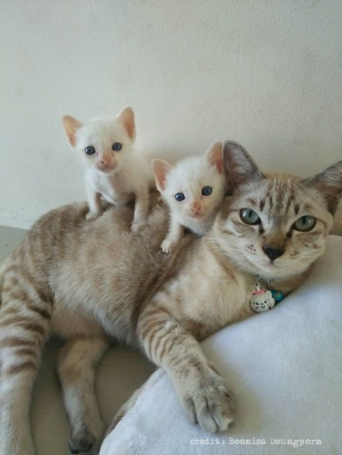 I love this cat photo of a mum and her two white kittens.