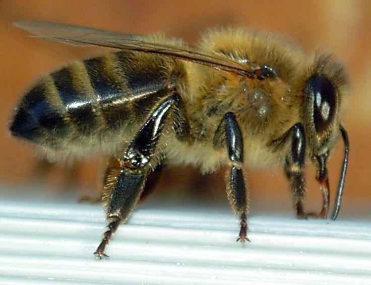 Dunkle Europäische Biene
