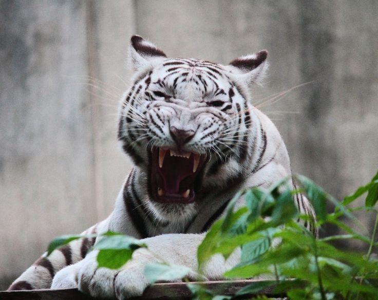 Kartini, White Bengal Tiger