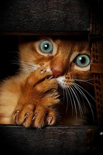 Green Eyes, posted by We Love Cats! via oscci.com