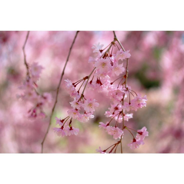 New Trees For 2011 Weeping Cherry Tree Flowering Trees Blooming Trees