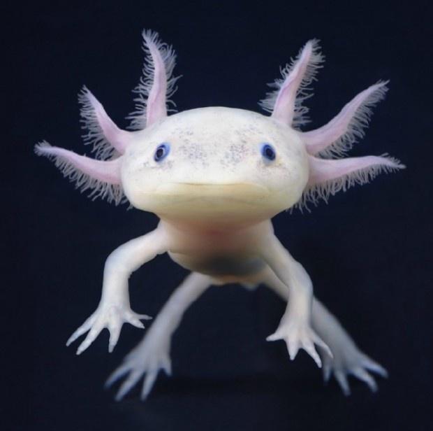 deze komen in de noordzee voor op de grond maar wel heel erg diep in het water. ps niet giftig. ps het is een albieno soort van kikker. van belen