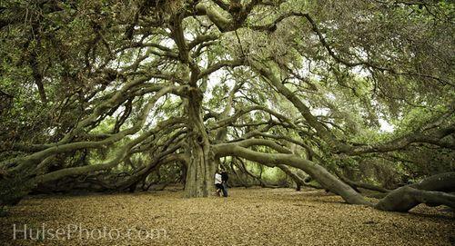 The Pechanga Oak Tree, USA, possibly the oldest oak tree in the world