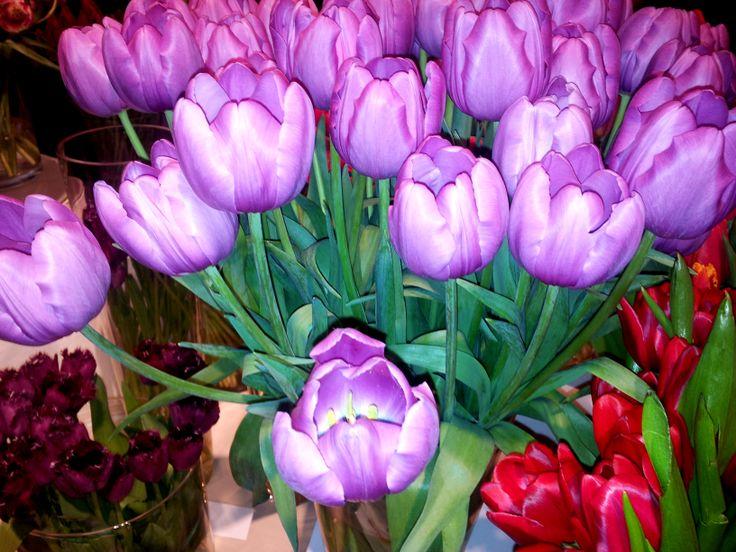Milka tulips