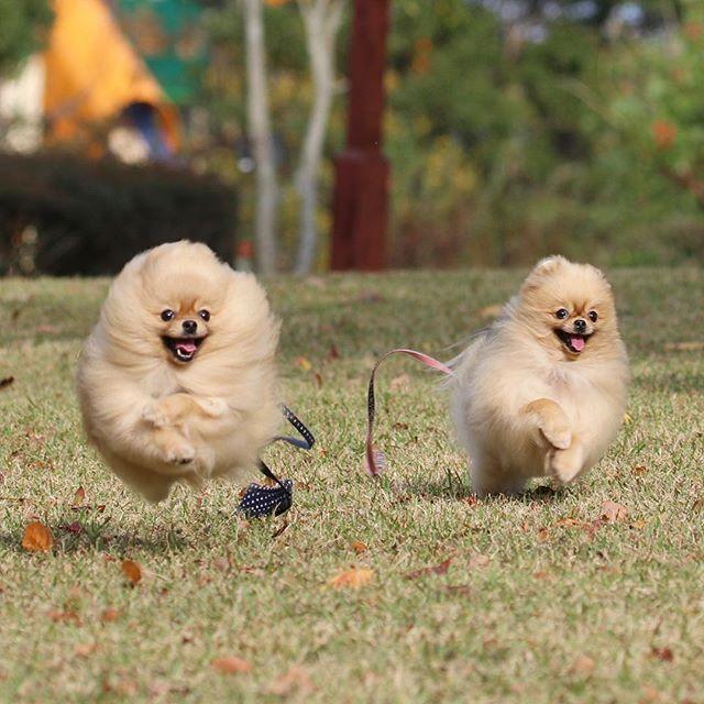 #ポメラニアン #わんこ #dog #dogstargram #pomeranian #pomstagram #犬 #webstagram #photooftheday #andypuku #instadog #kaumo #inumatome #pomeranianworld #pomeranianpage #toyota_dog