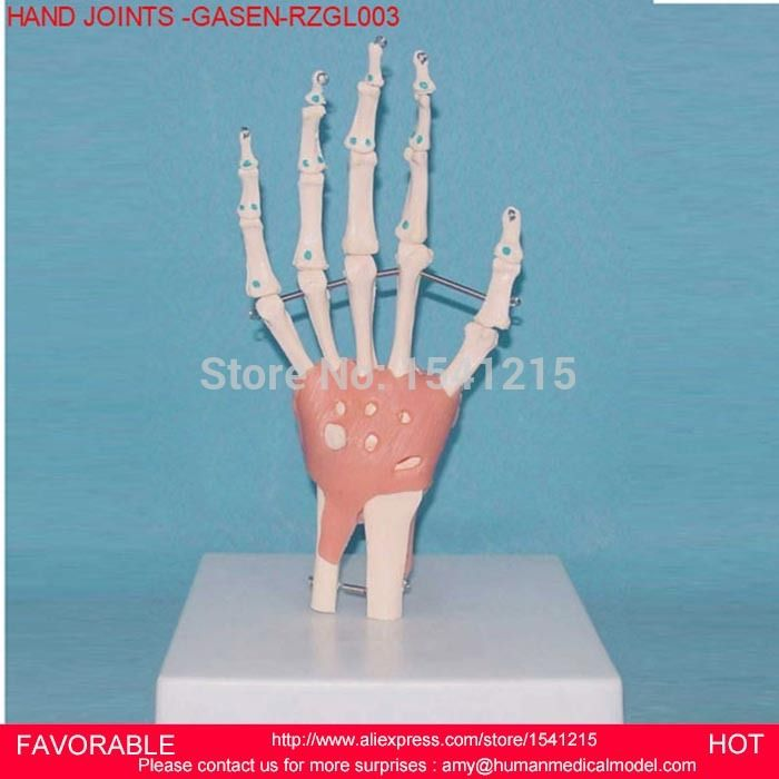 HUMAN HAND JOINT MODEL ,HAND JOINT SKELETON MODEL HUMAN SKELETON MODEL VOLA PALM SKELETON MODEL,HAND JOINTS -GASEN-RZGL003