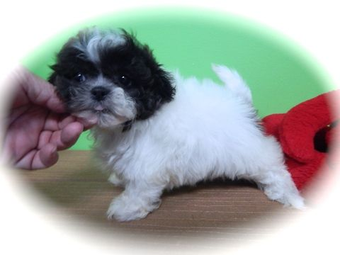Zuchon puppy for sale in HAMMOND, IN. ADN-27304 on PuppyFinder.com Gender: Female. Age: 9 Weeks Old