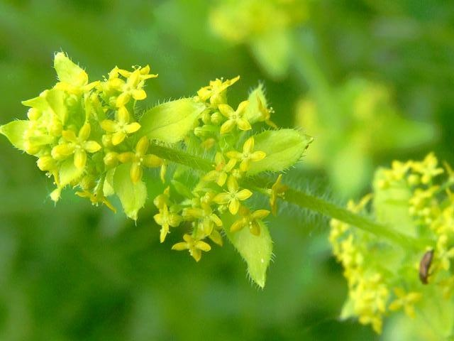 9 best yellow flowers 4 petals images on pinterest yellow flowers crosswort flower cruciata laevipes mightylinksfo Choice Image