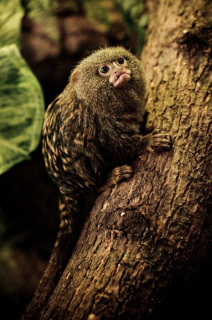 Pygmy Marmoset by marcinlachowicz.com on Flickr.The Pygmy Marmoset or Dwarf Monkey is a New World monkey native to the rainforest canopies of western Brazil, southeastern Colombia, eastern Ecuador, eastern Peru, and northern Bolivia. It is one of the smallest primates, and the smallest true monkey, with its body length ranging from 14 to 16 centimetres (5.5 to 6.3 in) (excluding the 15-to-20-centimetre (5.9 to 7.9 in) tail). Males weigh around 140 grams (4.9 oz), and females only 120 grams…