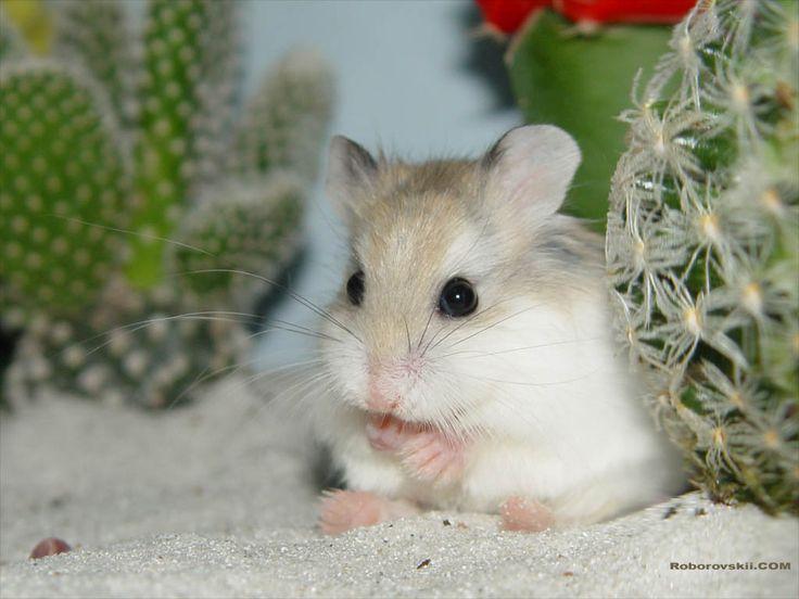 Desert Hamster by roborovskii on deviantART