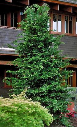 Slender Hinoki False cypress - Gracilis. Chamaecyparis obtusa 'gracilis'. 8-10' x 3-5'. Planted 2014.