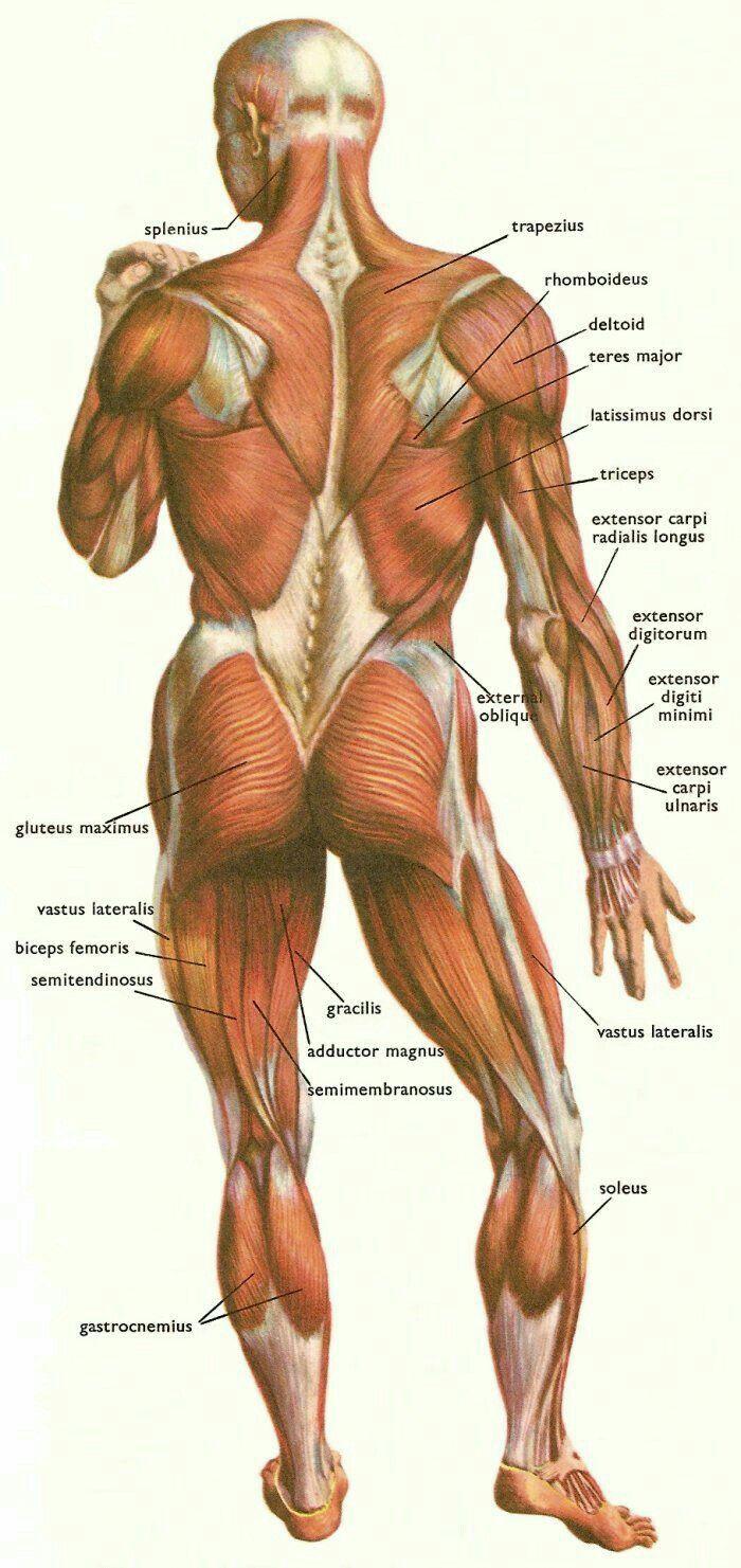 Mejores 49 imágenes de Anatomía en Pinterest