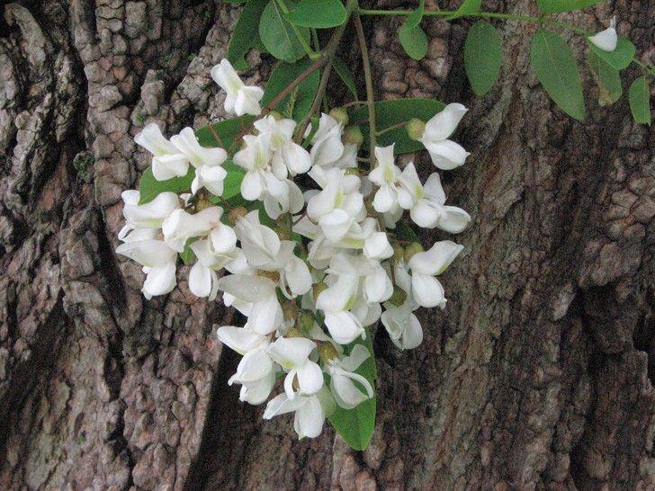 Erbe spontanee commestibili: le frittelle con i fiori di robinia