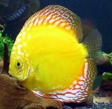 Golden Pigeon discus fish