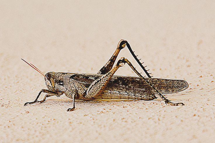 chapulin insecto - Buscar con Google