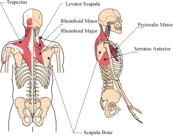 scapula stabilizers, serratus Anterior Rhomboids, Scapula ...