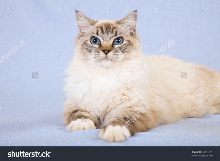 Fantastic No Cost Ragdoll Cats lynx Tips The big, weak