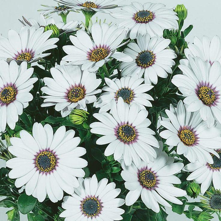 OSTEOSPERMUM Summertime Sweet White