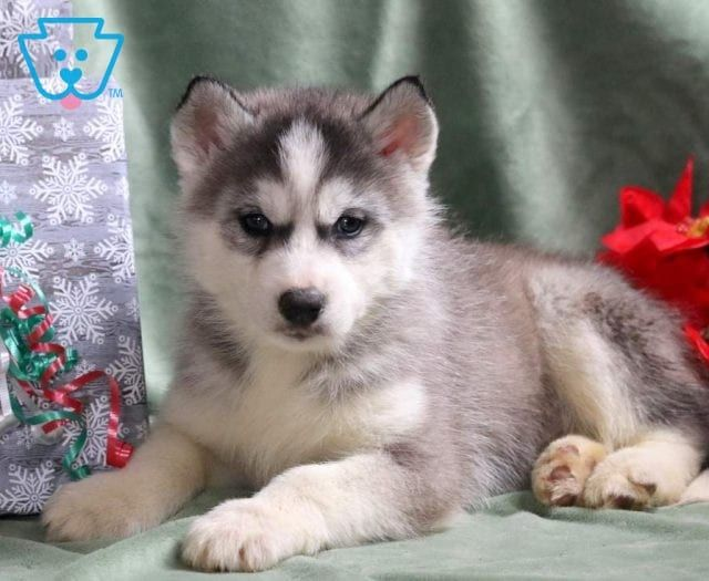 Moonlight Husky Puppies For Sale Husky Puppy Husky